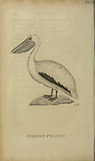 Common Pelican from the 1825 volume (Aves) of 'General Zoology or Systematic Natural History' by British naturalist George Shaw (1751-1813). Shaw wrote the text (in English and Latin). He was a medical doctor, a Fellow of the Royal Society, co-founder of the Linnean Society and a zoologist at the British Museum. Engraved by Mrs. Griffith