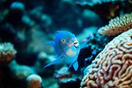 Chlorurus frontalis (Reefcrest Parrotfish)