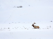 A large bull elk crosses the Lamar Valley in deep snow.