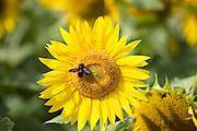 Bee on a sunflower head, tournesol, near Chatelleraut, Loire Valley, France