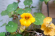 Flowering Tropaeolum majus (garden nasturtium, Indian cress or monks cress)