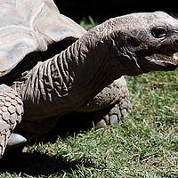 Aldabra Tortoise heading right