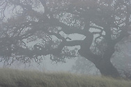A California Oak in the fog on a California coastal hillside