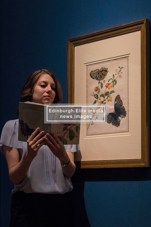 """Colourful illustrations that brought the wonders of South America to Europe in the early 18th century are going on display in a new exhibition opening at The Queen's Gallery, Palace of Holyroodhouse tomorrow (Friday, 17 March). Marking the 300th anniversary of the death of intrepid German artist and scientist Maria Sibylla Merian, Maria Merian's Butterflies brings together some of the finest images of the natural world ever made, with more than 50 works going on display in Scotland for the first time.<br /> <br /> Among the works on display are luxury versions of the Metamorphosis plates, which were partially printed and then hand-painted onto vellum. The images were acquired by George III for his scientific library in Buckingham House (later Buckingham Palace) and are today part of the Royal Collection.<br /> <br /> Pictured: Royal Collection Member of Staff with """"Branch of West Indian Cherry with Achilles Morpho Butterfly"""""""