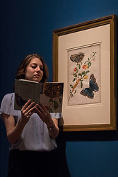 "Colourful illustrations that brought the wonders of South America to Europe in the early 18th century are going on display in a new exhibition opening at The Queen's Gallery, Palace of Holyroodhouse tomorrow (Friday, 17 March). Marking the 300th anniversary of the death of intrepid German artist and scientist Maria Sibylla Merian, Maria Merian's Butterflies brings together some of the finest images of the natural world ever made, with more than 50 works going on display in Scotland for the first time.<br /> <br /> Among the works on display are luxury versions of the Metamorphosis plates, which were partially printed and then hand-painted onto vellum. The images were acquired by George III for his scientific library in Buckingham House (later Buckingham Palace) and are today part of the Royal Collection.<br /> <br /> Pictured: Royal Collection Member of Staff with ""Branch of West Indian Cherry with Achilles Morpho Butterfly"""