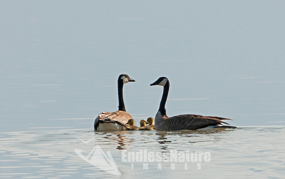 A pair of Canadian Geese swims with their chicks on the big pond at Bear River Bird Refuge in northern Utah.
