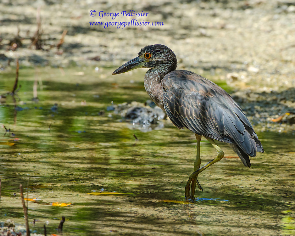 A juvenile Yellow-Crowned Night Heron on Virginia Key, Miami, FL.