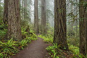 Trail through Lady Bird Johnson Grove, Redwoods State and National Parks, Calfornia.