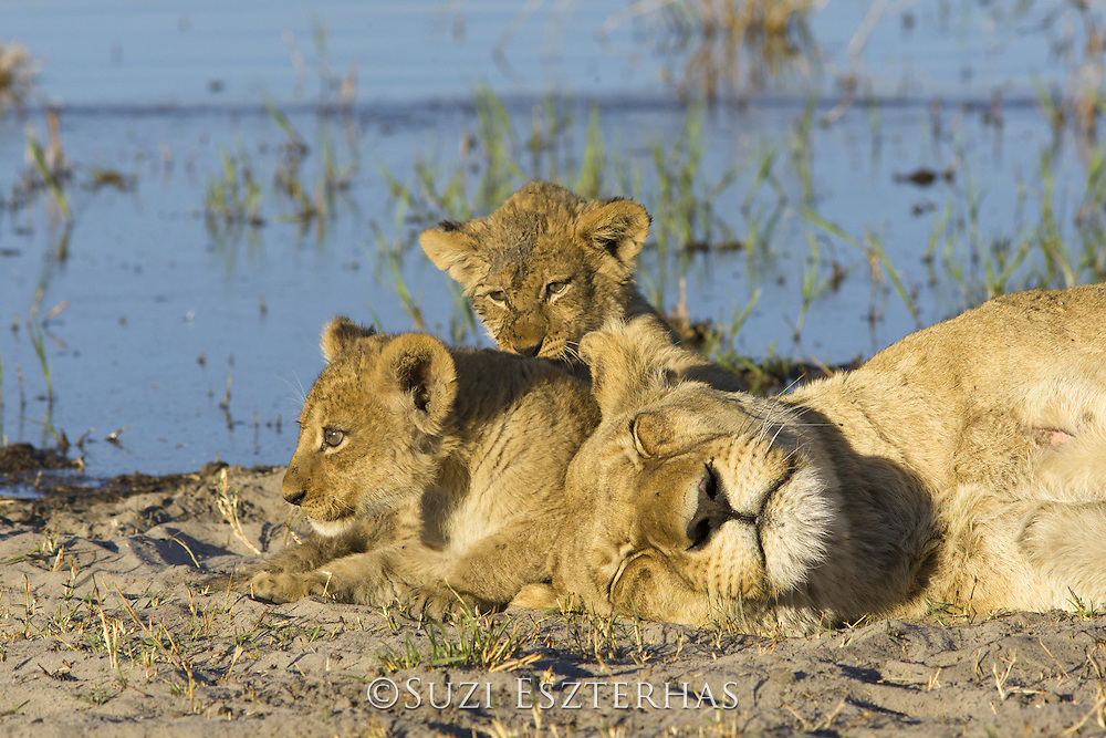 African Lion<br /> Panthera leo<br /> Mother and 8 week old cubs<br /> Okavango Delta, Botswana