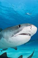 Lemon Sharks hang on the seafloor as a Tiger Shark passes overhead.<br /> <br /> Shot in Bahamas