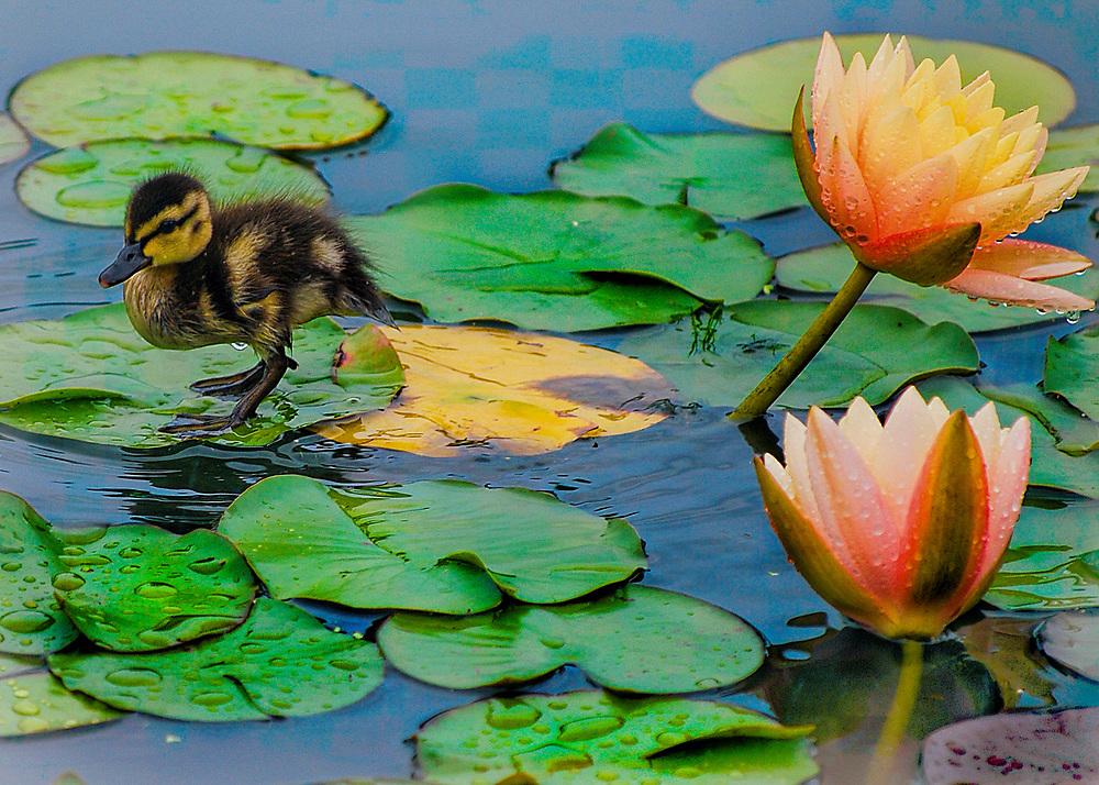 Duck at Botanical Gardens, Bronx, New York
