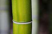 Bamboo Stalk Photo