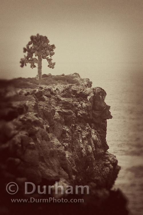 A prickly pear cactus tree (Opuntia echios) on a sea cliff on South Plaza Island, Galapagos Archipelago - Ecuador.