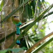 Blue crowned mot mot bird on surroundings of the Cenote Kantun chi. Riviera Maya. Quintana Roo. Mexico