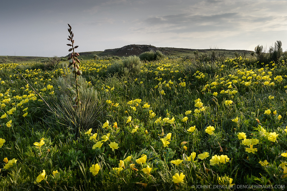 A patch of evening primrose (family Onagraceae) blooms on the prairie near Buffalo Creek on the Selman Ranch near Buffalo, and north of Woodward in northwestern Oklahoma. Also pictured is a yucca plant (left).