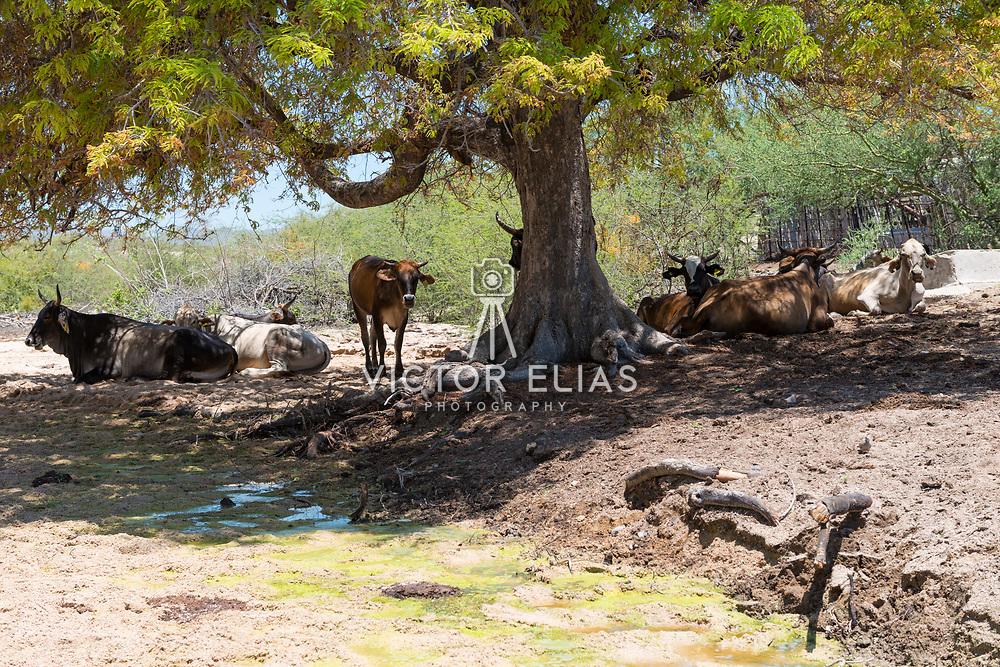 Cows resting in the shade near Bahia Los Frailes. Cabo Pulmo, BCS. Mexico.