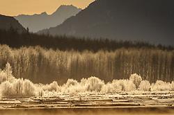 The golden light of sunrise causes ice covered trees to sparkle at the confluence of the Tsirku and Chilkat Rivers in the Alaska Chilkat Bald Eagle Preserve. During November and December several thousand bald eagles come to the alluvial delta area at the confluence of the Tsirku and Chilkat Rivers near Haines, Alaska because of the availability of spawned-out salmon and open waters. The open water is due to a deep accumulation of gravel and sand that acts as a large water reservoir whose water temperature remains 10 to 20 degrees warmer than the surrounding water temperature. This warmer water seeps into the Chilkat River, keeping a five mile stretch of the river from freezing as quickly as other rivers in the area. The 48,000 acre area was designated as the Alaska Chilkat Bald Eagle Preserve in 1982.
