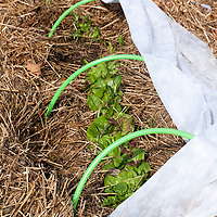 Mixed salad greens in straw mulch and protected from fall frosts by a a spun fabric row cover ( Remay) for season extension. The frost blanket is pulled back on warm sunny days.