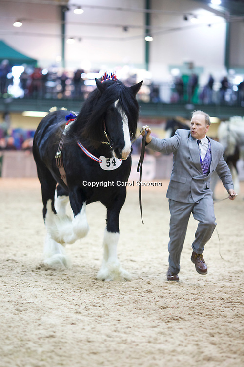E A Sessions &amp; Sons' ROOKHILLS EMPEROR  f 2011  (No.54)<br /> Sire  Red Brae Black Jack<br /> Dam  Rookhills Mettle