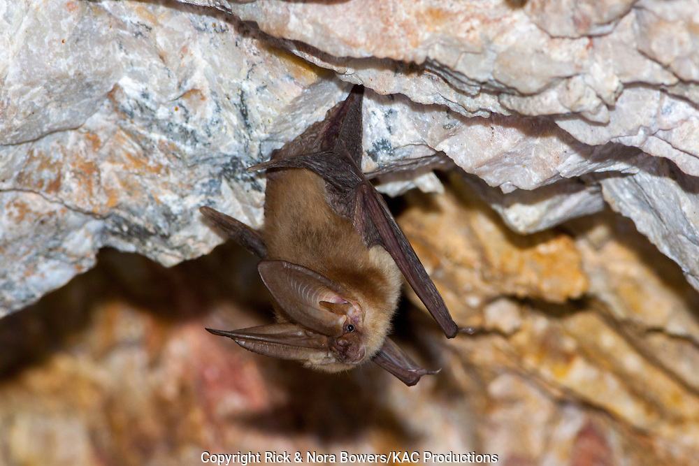 Townsend's Big-eared Bat <br /> Plecotus townsendii<br /> Harquahala Mountains, nw of Phoenix, Arizona, United States<br /> 17 April    Adult      Vespertilionidae