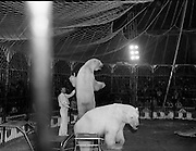08.09.1984<br /> 09.08.1984.<br /> 8th September 1984.<br /> Chipperfield's circus performed before packed houses in Mullingar, Co Westmeath.<br /> <br /> Image shows the polar bears beginning their performance,under the watchful eye of a trainer. many of the audience have a very up-close view.