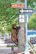 A brown bear in a tree at the corner of South Mill Street and Durant Avenue in Aspen, Colorado.