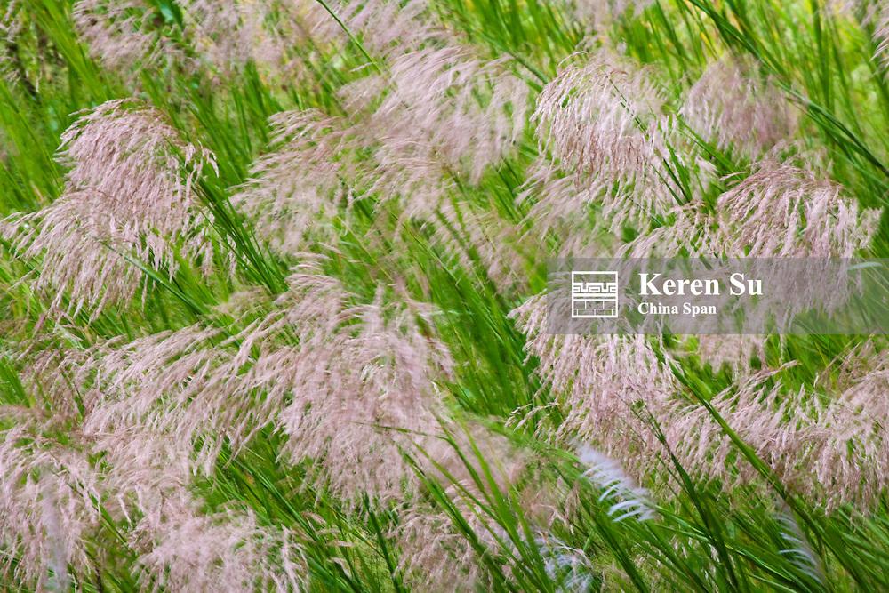 Wild dogtail grass swaying in wind, Bhutan