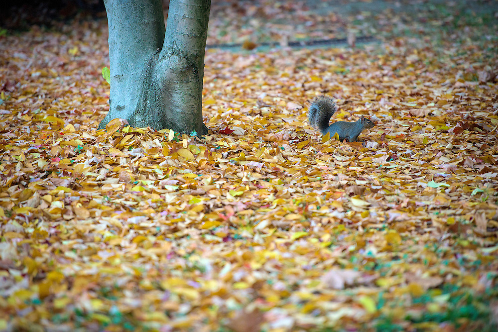 A squirrel searches through leaves on College Green for acorns on November 12, 2016.