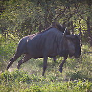 Blue Wildebeest just winding up for a fast run across the road. Khana Rhino Sanctuary. Botswana.
