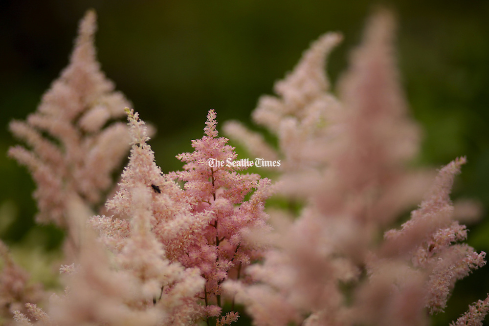 The perennial Astilbe grows in the Bellevue Botanical Garden&rsquo;s Waterwise Garden.<br />