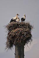 Baby storks sitting high up on their nest.