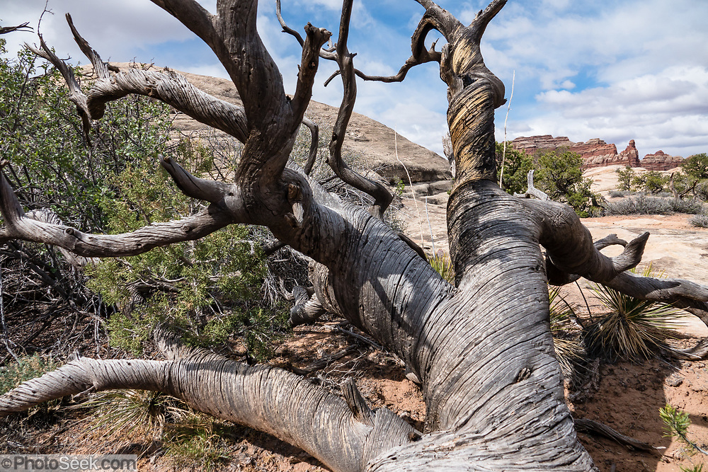 A twisted dead tree reaches for the sky. Chesler Park, in Needles District of Canyonlands NP, Monticello, Utah, USA.