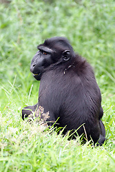 24 July 2005:  Sulawesi crested black Macaque - pink-bottomed, punk-haired monkeys are the most endangered of the seven macaque species that live on the island of Sulawesi (formerly Celebes) in Indonesia<br /> <br /> critically endangered