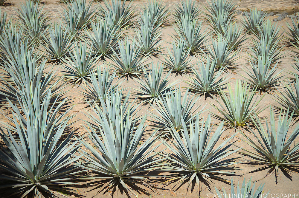 Rows of young Blue Agave, the source for tequila, growing at La Cofradia tequila distillery in Tequila, Mexico. Jalisco, Mexico.