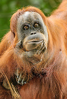 "A pensive Sumatran orangutan, striking a pose reminiscent of Raudin's ""The Thinker"", holds her chin and stares deeply into camera. Wildlife photographer: Djuna Ivereigh."