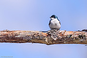 A tree swallow sits crosswise on a dead branch. The blue-green feathers of its head glisten in the sun and its white breast feathers so their shoft texture. These insectivorous birds use keen eye-sight to catch flying insects. often foraging over wetlands.