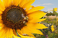 Hunts Bumble Bee (Bombus huntii), pollinating a sunflower in a community garden, Bozeman, Montana.