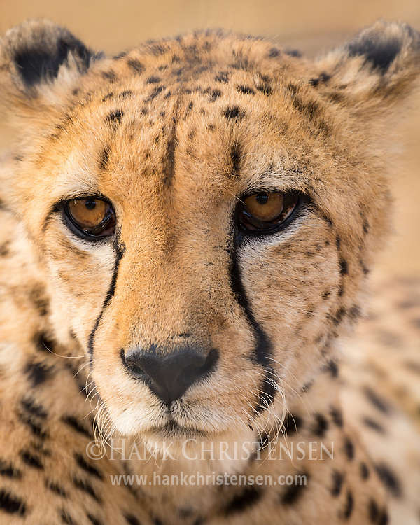 A cheetah lazes in the afternoon sun, Naan Ku Se Wildlife Sanctuary, Namibia.