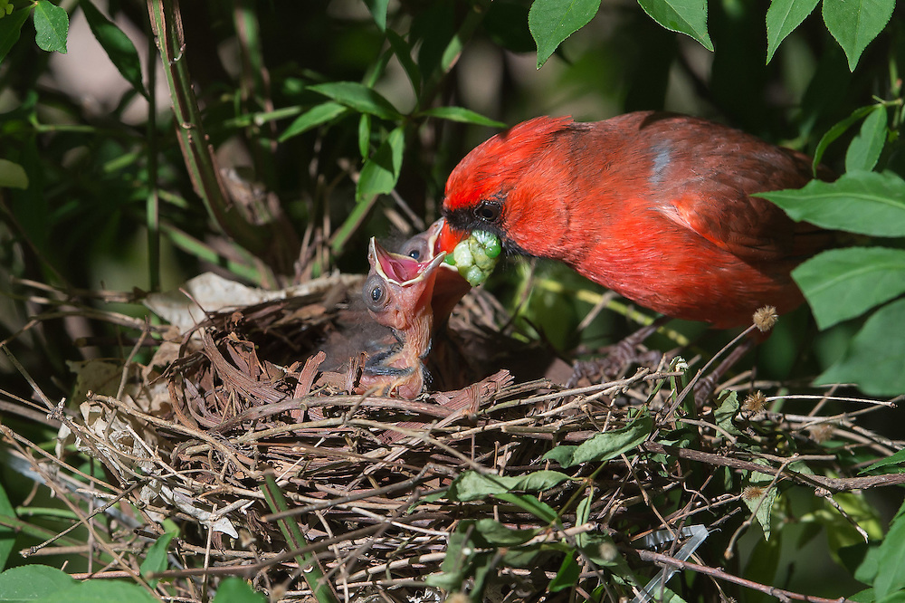 Cardinal chick neck extension and reach for food