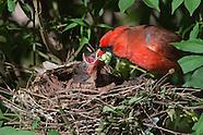 Cardinal Nest Day 4