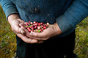 Regina Buiko, 66, holds a handful of wild cranberries she is picking next to a lake near the border with Lithuania on Sept. 18, 2009. Buiko, who belongs to the Catholic minority in Belarus and speaks a mixture of Lithuanian, Russian and Belarusian, spends most of her days gathering mushrooms, berries and other natural food items because she and her husband cannot live just from their monthly government pensions.