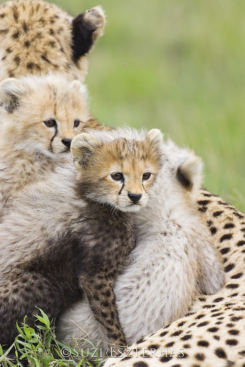 Cheetah<br /> Acinonyx jubatus<br /> 8 week old cubs<br /> Maasai Mara Reserve, Kenya
