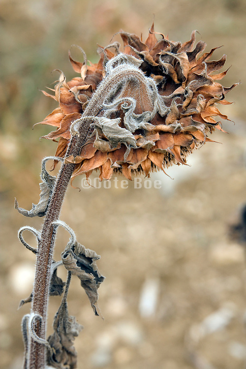 ripe sunflower head