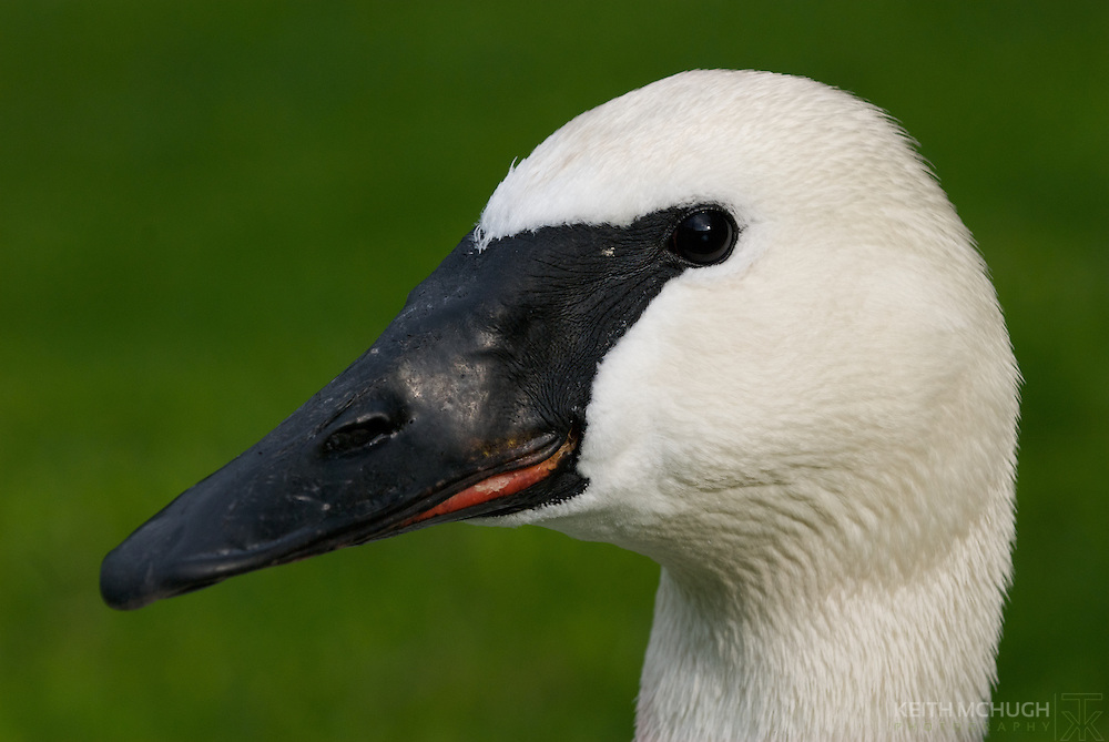 Trumpeter Swan head profile