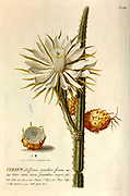 Coloured Copperplate engraving of a flowering Cereus cactus from hortus nitidissimus by Christoph Jakob Trew (Nuremberg 1750-1792)
