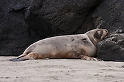 Hooker Sea Lion, juvenile, Otago Peninsula, New Zealand