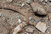 Crotalus ruber (Red Diamond Rattlesnake) at Plum Canyon, San Diego Co, CA, USA, on 09-Apr-17