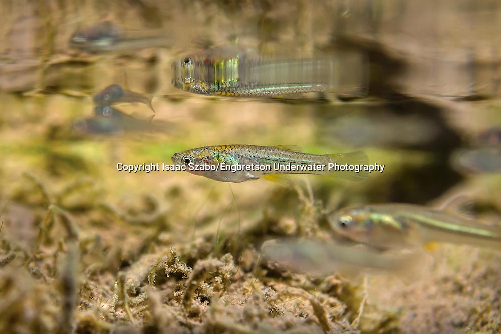 Gila Topminnow<br /> <br /> Isaac Szabo/Engbretson Underwater Photography