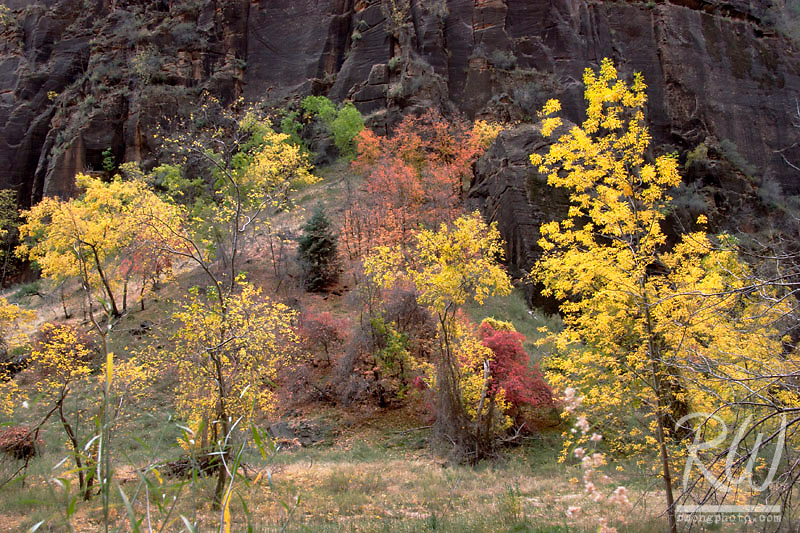 Fall Foliage Spectrum of Colors Against Canyon Wall, Zion National Park, Utah