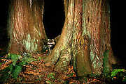 A raccoon (Procyon lotor) peers between two large cedar tree trunks near Forest Park in Portland, Oregon.